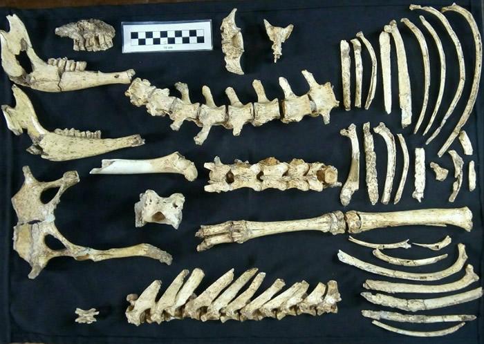 阿根廷布宜诺斯艾利斯北部出土较完整的史前鹿化石