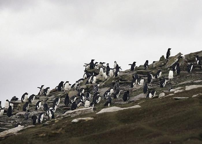 跳岩企鹅多栖息于南极洲附近岛屿。