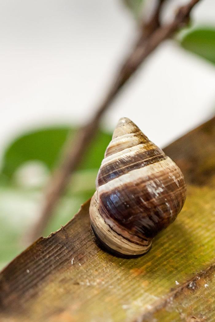 """世界上最后一只""""夏威夷金顶树蜗""""乔治已经死亡 """"享年""""14岁"""