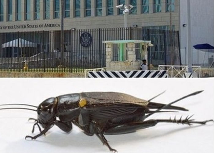 短尾蟋蟀疑为发动声波攻击的幕后黑手。