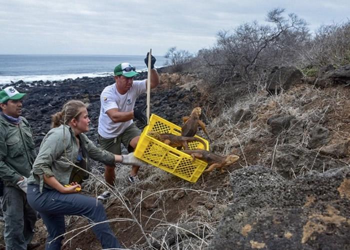加拉伯戈斯国家公园职员将陆鬣蜥送往圣地亚哥岛。