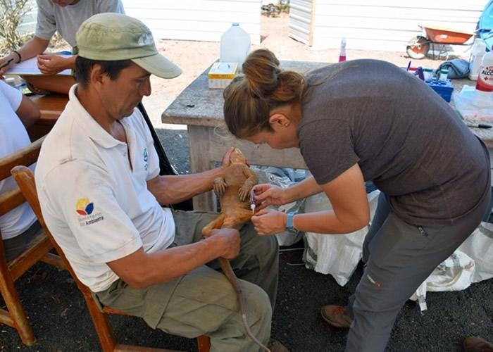 职员正在照顾陆鬣蜥。
