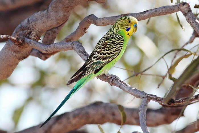 研究表明聪明的雄性虎皮鹦鹉会在雌性同类中变得更具吸引力