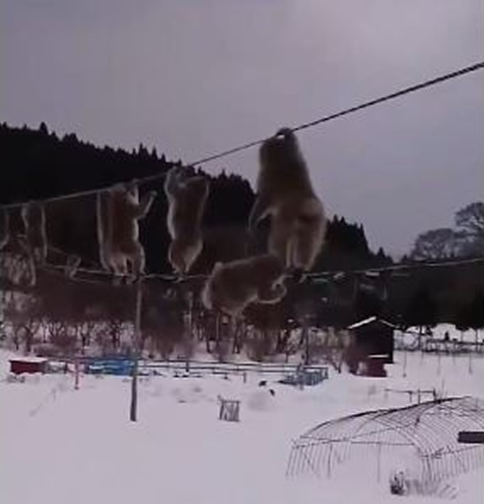 """日本大雪弥漫的青森县陆奥市一群野生猴子竟在""""高空走钢索"""""""