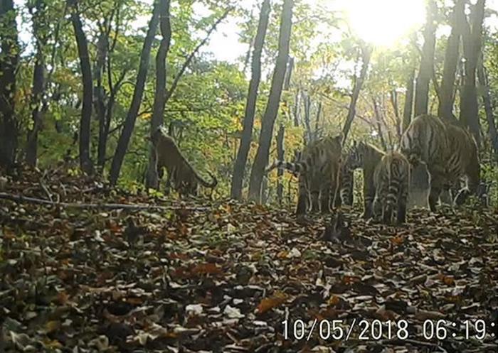 吉林珲春东北虎豹国家公园野生东北虎家庭现身