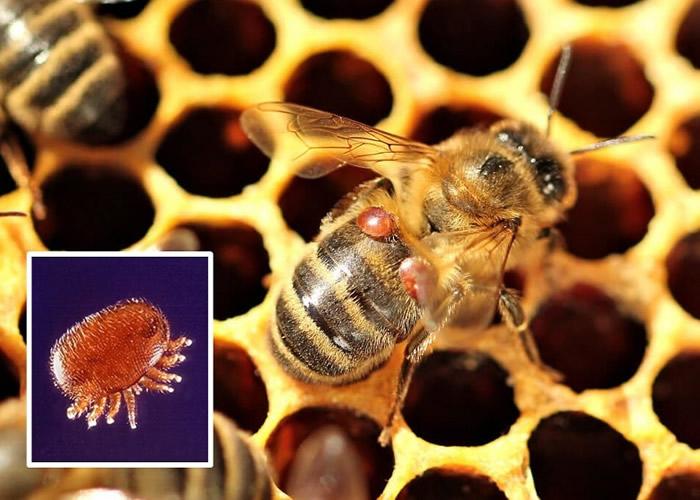 研究指瓦螨(小图)会噬食蜜蜂的脂肪组织,威胁其存亡。