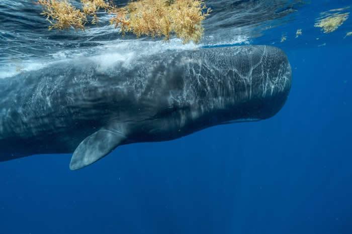 加勒比海的抹香鲸面临许多威胁:污染、气候变迁、渔具缠绕、船只撞击。 指头的家族有很多成员已在近年内死亡,所以这个家族最后与另一家族合并。 照片中的鲸鱼是酷爱社交