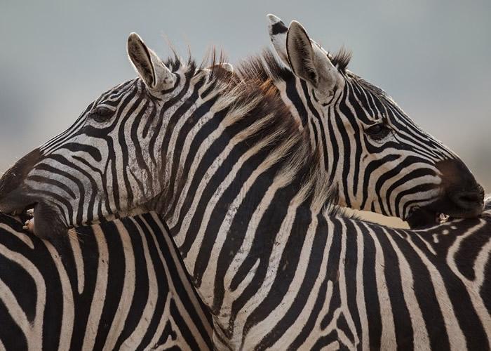 斑马纹有防马蝇的功能。