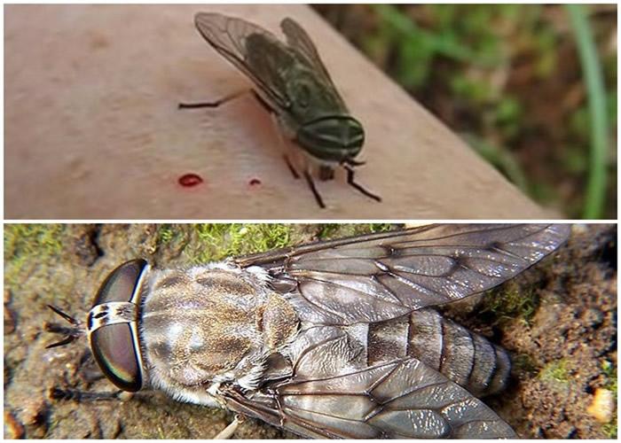 马蝇靠吸食哺乳类动物的血液维生。