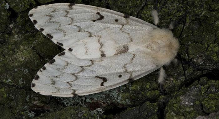 """对森林和花园构成最大危险的害虫""""舞毒蛾""""是基因组最大的蛾类"""