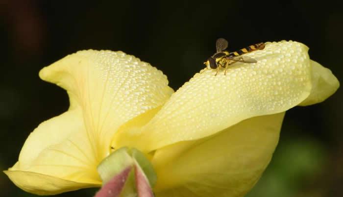 在英国,一只棕黄相间的食蚜蝇(hoverfly )停在一朵布满露珠的月见草上。 PHOTOGRAPH BY MICHAELGRANTWILDLIFE/ ALAM