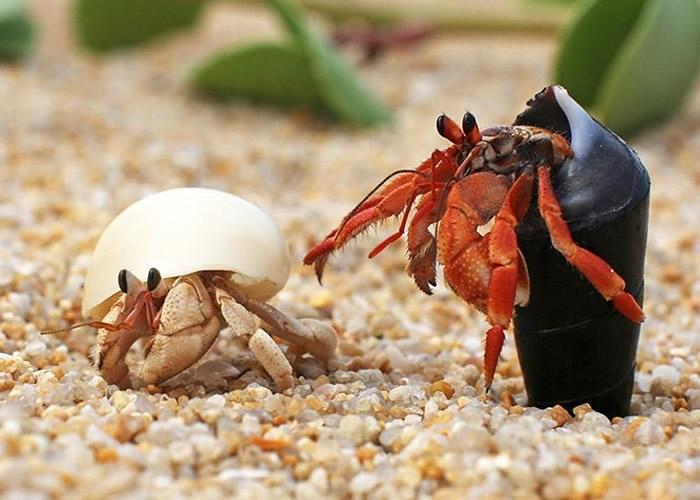 研究指部分雄性寄居蟹会长出特长阴茎以便交配。
