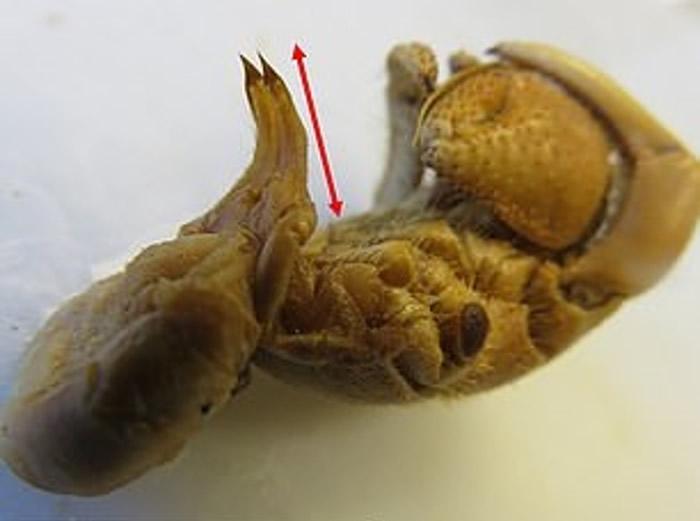 有特长阴茎的寄居蟹能在接触性伴的同时,可用身体牢牢控制属于自己的财产。