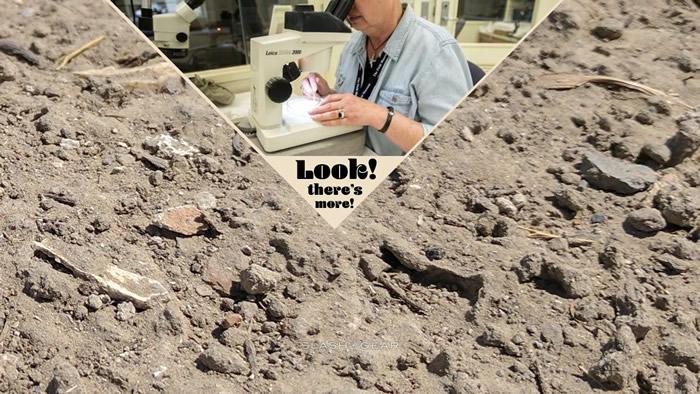 科学家在整理霸王龙化石Sue时发现鲨鱼新物种Galagadon