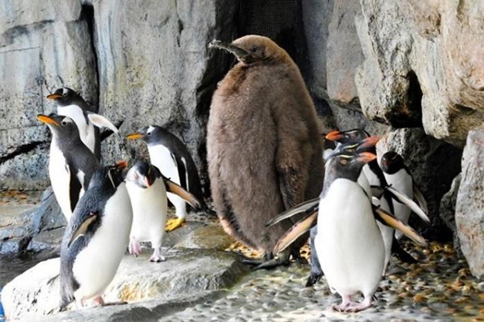 雏鸟看起远较其他企鹅巨型。