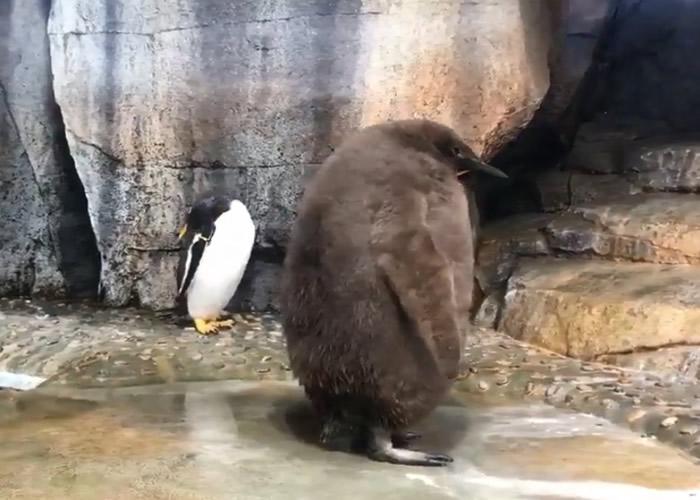 国王企鹅满身褐色蓬松绒羽。
