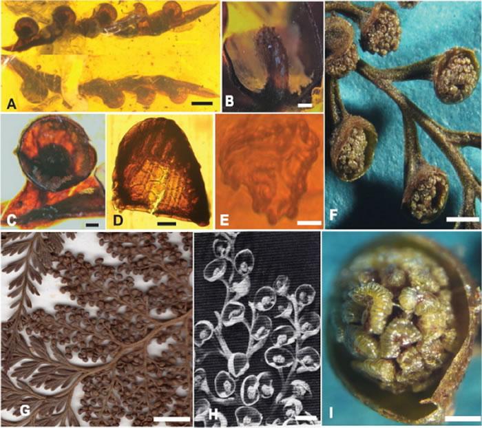 缅甸琥珀研究新类群——白垩密锥蕨化石(A-E)与现存密锥蕨(F-I)