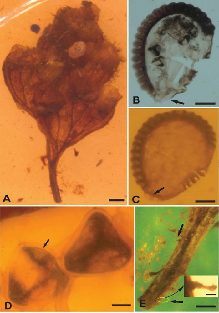 缅甸琥珀研究新类群——原始乌蕨属(鳞始蕨科,水龙骨目)
