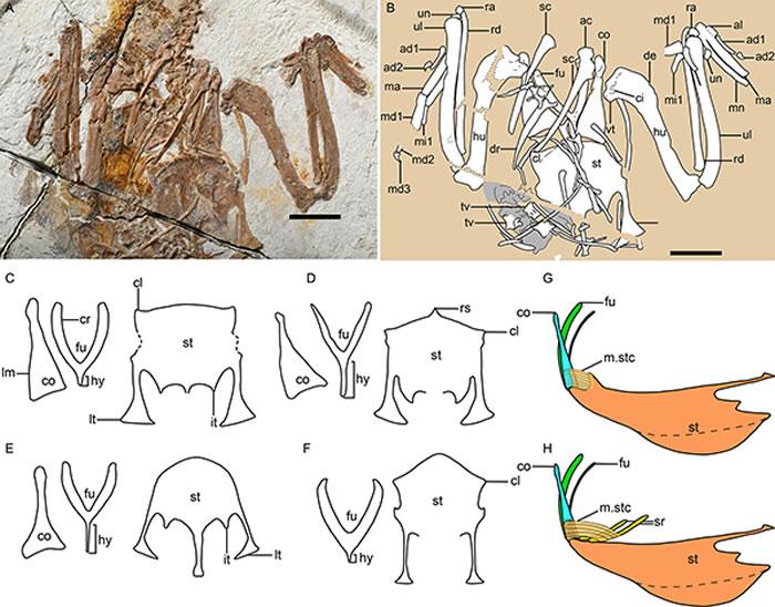 原始鸟类胸骨前外侧突的发育情况,以及胸喙肌附着位置的变化。(王敏供图)