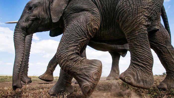 大多数动物相对容易定位:人类和老鼠是跖行动物,狗和猫是趾行动物,马和野牛是蹄行动物。但也有动物难以划分,例如,大象和犀牛有蹄子,但它们不像马那样分配体重。大象的脚后跟承受着巨大的重量,这让它们被划分为跖行动物;而犀牛实际上是用脚掌走路,因此它们属于踮起脚尖走路的动物。