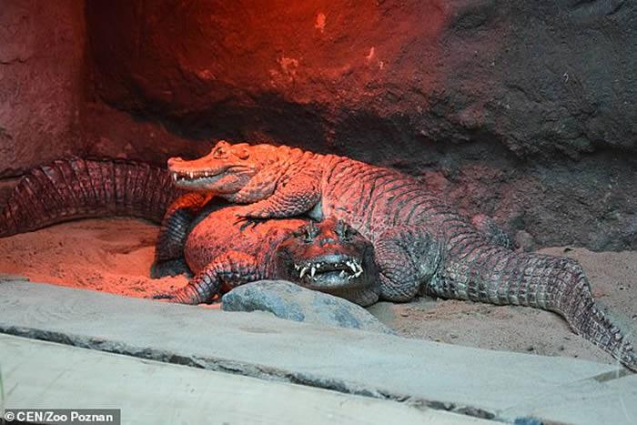 波兰动物园鳄鱼夫妻相处近50年都没能繁衍下一代 原因竟是公鳄生殖器太小