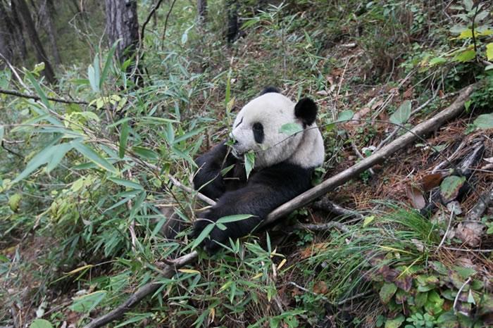 大熊猫食性演化及栖息地退缩的最新研究成果