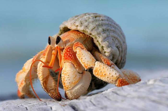 塞席尔的橙红陆寄居蟹(Coenobita perlatus)跟牠们的某些近亲一样,会花很多精力「改造」甲壳,牠们在任何情况下都不愿离开自己的壳──即使是交配也一