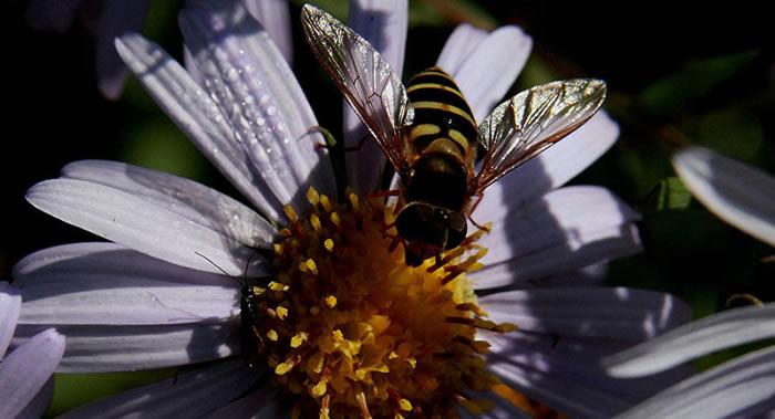 俄罗斯滨海边疆区科学家培育出新品种蜜蜂并申请专利