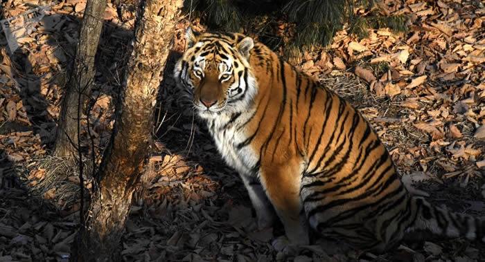 2022年的第二届保护老虎国际论坛或在俄罗斯举行