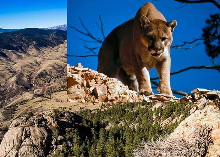 美国科罗拉多州男子跑步时遭突袭 徒手勒死美洲狮