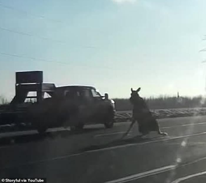 加拿大一头麋鹿结冰路上不慎失蹄 险些遭车辆撞上