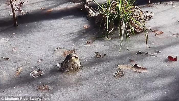 美国北卡罗莱纳州短吻鳄将鼻子伸出池塘水面呼吸