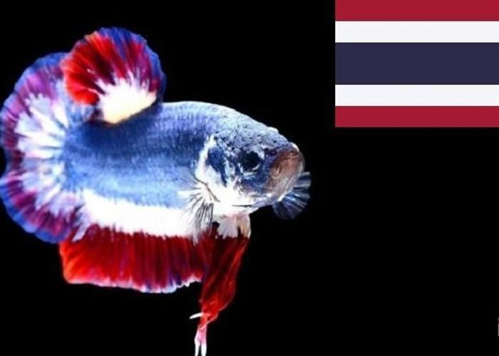 与国旗非常相似 泰国政府宣布将暹罗斗鱼列为国鱼