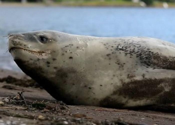 离奇发现:新西兰豹海豹排便内含内有海狮照片的USB记忆体