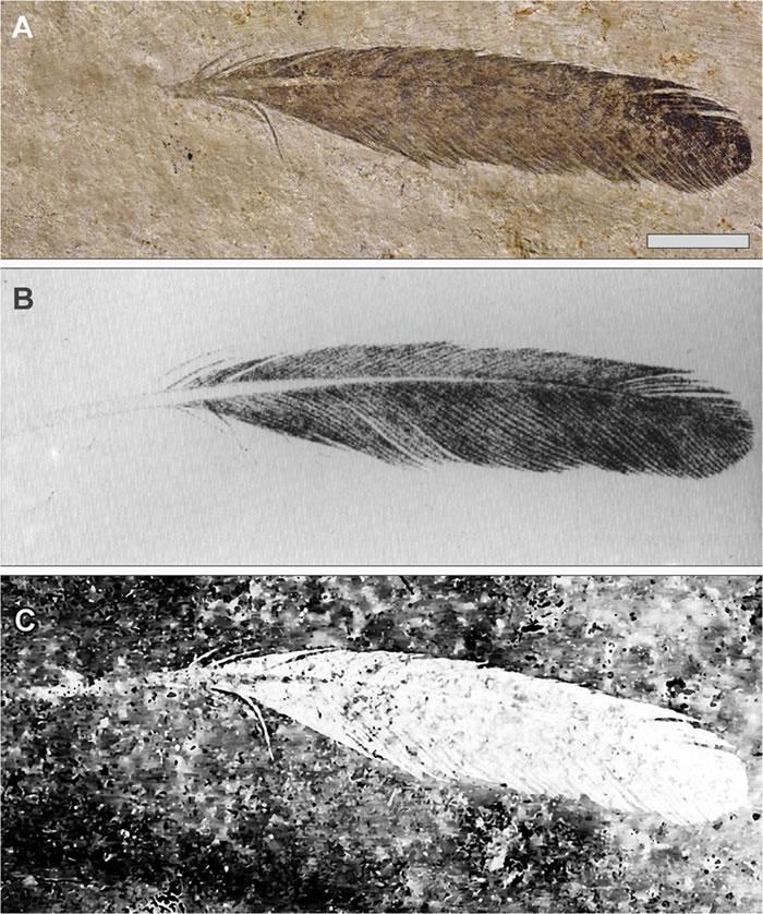 新激光诱导荧光技术指仅有的原始羽毛标本可能并非属于印石板始祖鸟