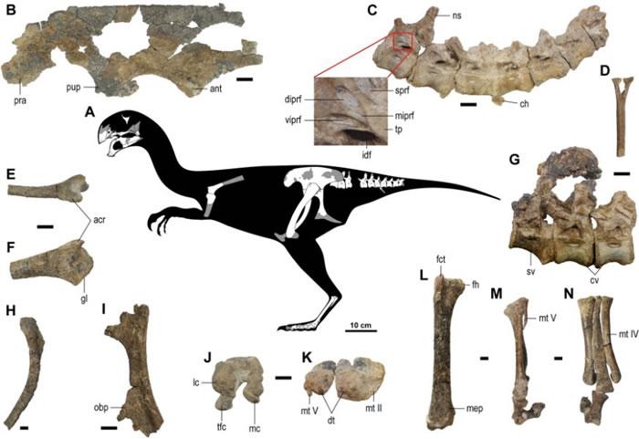 蒙古戈壁沙漠发现新恐龙——虎尾龙Gobiraptor minutus