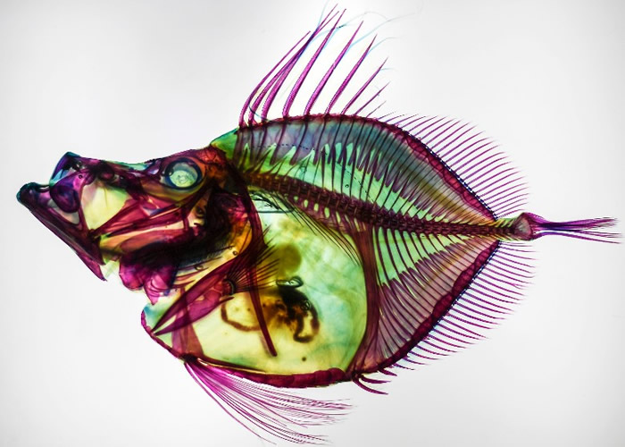 该批鱼标本的身体透明,骨骼染成不同颜色。