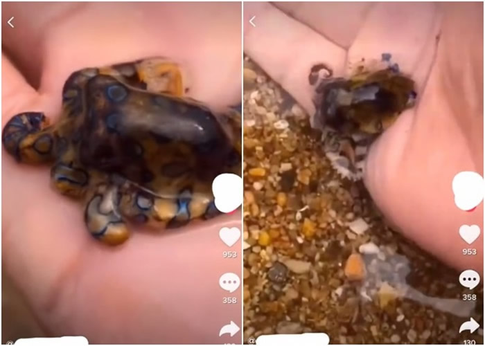 中国游客在澳洲达尔文海滩把玩剧毒蓝环章鱼 网民:把死神握在手中
