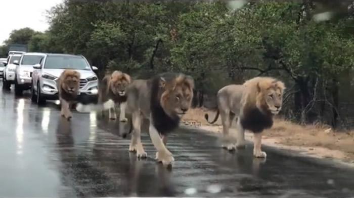 南非克鲁格国家公园内大塞车 上前一看原来是4只雄狮在散步