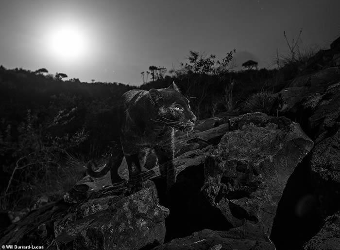 百年来首次在非洲发现黑豹 肯尼亚莱基皮亚郡相机陷阱拍到清晰身影