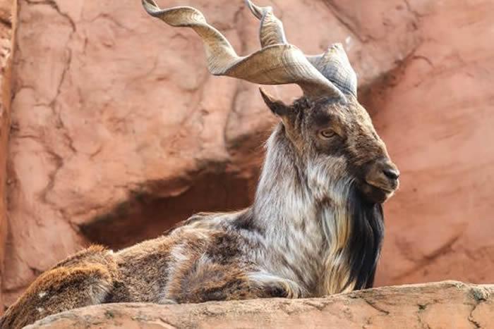 美国德克萨斯州商人花10多万美元射杀巴基斯坦的稀有捻角山羊