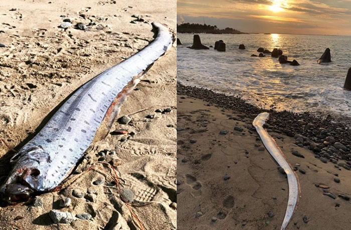 环太平样海岸近日发现许多地震鱼(皇带鱼)踪迹 被认为是灾难发生的前兆