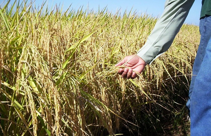 哥斯达黎加今年气候料受厄尔尼诺现象影响 稻农调整播种日期