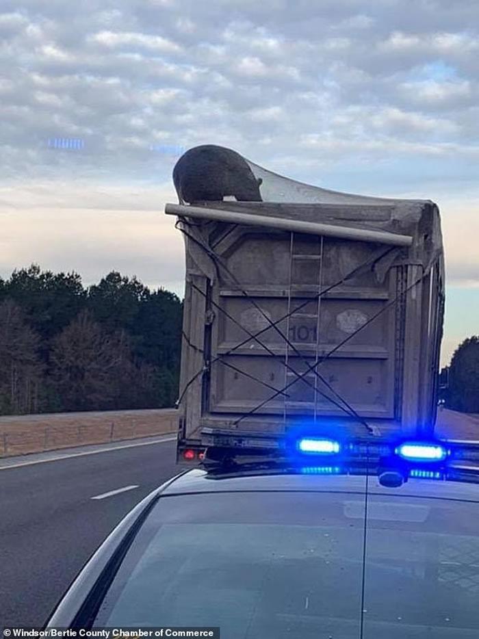 美国北卡罗莱纳州黑熊爬上垃圾车寻找食物被困 差点被送去堆填