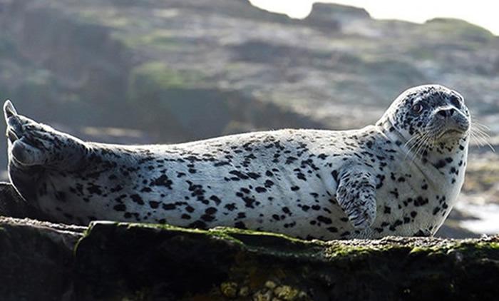 斑海豹因受到偷捕及气候变暖等原因而影响繁殖。