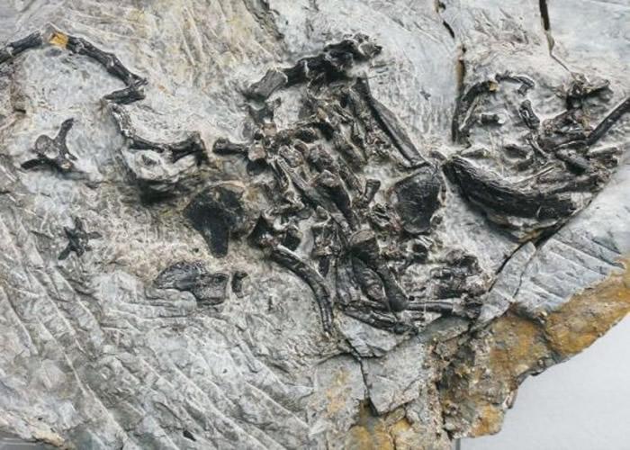 科学家研究罗氏祖龟的化石。