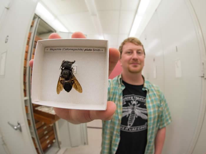 印尼岛屿发现被认为可能已灭绝的世界最大蜜蜂物种——华莱士巨型蜜蜂
