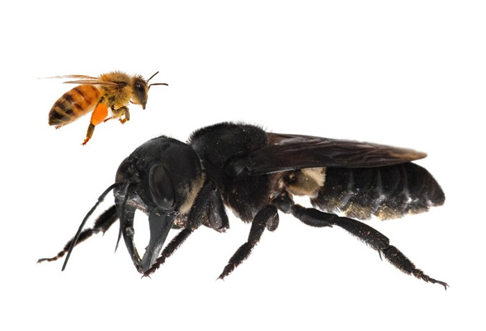 华莱士巨型蜜蜂与一般蜜蜂相比,犹如巨人。
