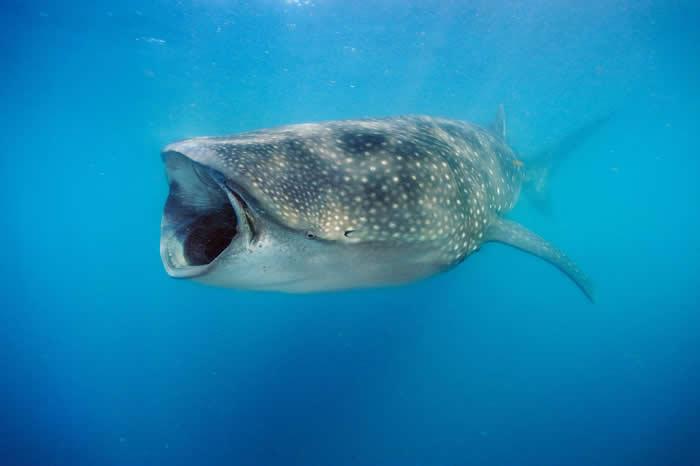 鲨鱼竟然也吃素 鲸鲨其实是杂食性的
