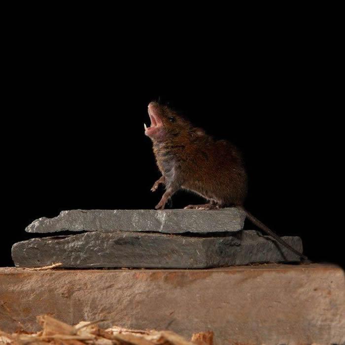生活在中美洲地区的褐鼷鼠用歌声相互较量